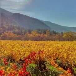 Ballade dans les vignes à l'automne