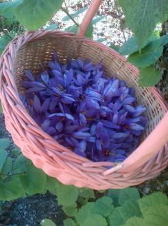 le safran, or bleu